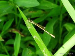 Male Citrine Forktail _N3967 (Henryr10) Tags: piercepreserveandtrails piercetownshipohio nope usa piercetownshipnaturearea citrineforktail ischnurahastata damselfly forktail odonata libélula dragonfly dragonflies libellula libellule libelle drekafluga
