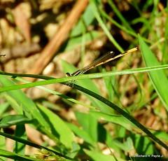 Male Citrine Forktail _N3972 (Henryr10) Tags: piercepreserveandtrails piercetownshipohio nope usa piercetownshipnaturearea citrineforktail ischnurahastata damselfly forktail odonata libélula dragonfly dragonflies libellula libellule libelle drekafluga