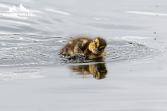 Ducklings (Karen Miller Photography) Tags: glasgow karenmiller nature nikon outdoors scotland wildlife duck duckling mallard hogganfieldloch babybirds