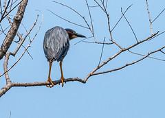 _DSC4583 (doug.metcalfe1) Tags: 2019 dougmetcalfe greenheron mckenziemarsh nature nokiidaatrail ontario outdoor summer yorkregion bird