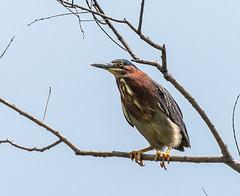 _DSC4592 (doug.metcalfe1) Tags: 2019 dougmetcalfe greenheron mckenziemarsh nature nokiidaatrail ontario outdoor summer yorkregion bird