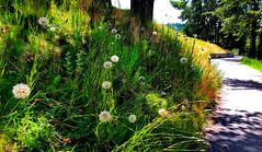 Sunlit Goatsbeard + Hawkweed  flowers(+3) (peggyhr) Tags: peggyhr goatsbeard seedheads hawkweed path sunlight dappledsunshine shadows trees grasses hillside img2079abfpe quesnel bc canada carolinasfarmfriends super~sixbronze☆stage1☆ rainbowofnaturelevel1red frameit~level01~ photozonelevel1
