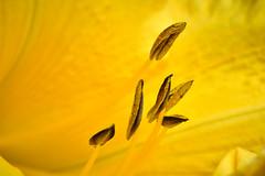 Daylily - Inner Beauty (Modkuse) Tags: daylily yellow yellowlily yellowflowers art artphotography photoart fineartphotography fineart artistic artisticphotography nature natural macro macrophotography macrolens macroflower 80mm 80mmmacro xf80mmf28rlmoiswrmacro xf80mmf28rlmoiswrmacrolens fujinonxf80mmf28rlmoiswrmacro fujifilm fujifilmxt2 xt2 fujinon velvia fujifilmxt2velvia fujifilmxt2velviasimulation bright brightcolor vividcolor vivid