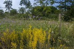 Wild Flowers Everywhere (stevedewey2000) Tags: salisburyplain wiltshire bedstraw meadowcranesbill cranesbill geranium sigma2470 ladysbedstraw wildflowers flowers flora 32 sonya99