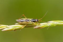 Teratocoris antennatus (a plant bug) - Miridae - Embankment End Marsh, Peterborough, UK-4 (Nature21290) Tags: embankmentendmarsh hemiptera june2019 miridae peterborough teratocoris teratocorisantennatus uk insect plantbug