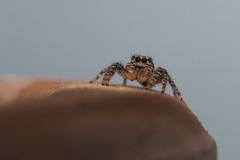 1791_jumping spider (alfred.reinartz) Tags: spider spinne