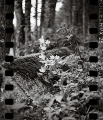 Yashica 44 (Geir Bakken) Tags: rolleirpx rolleirpx25 yashica yashica44 blackandwhite bw flowers nature film filmisnotdead filmphotography filmcamera 35mmfilm analog analogue analogphotography mediumformat norway