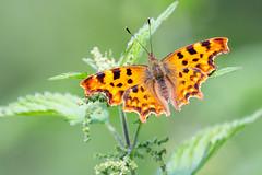 Comma Butterfly (Richard J Hunt) Tags: canon700d comma butterfly