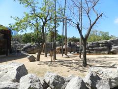 Instalación jirafas y gacelas (Merintia) Tags: zoodebarcelona cautividad captivity captive instalación jirafa gacela