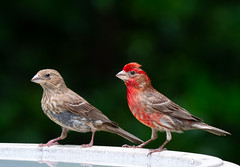 House Finches (njsux) Tags: birds finches housefinches male female wildlife nature twobirds finch housefinch songbird backyardbird