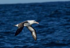 Black-browed Albatross (Thalassarche melanophris) (Kremlken) Tags: thalassarchemelanophris pelagic humboldtcurrent pacificocean seabirds birds birdwatching birding southamerica austral nikon500 nature chilean