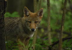 Young Coyote (aj4095) Tags: eastern coyote nature wildlife outdoor animal forest summer ontario canada nikon