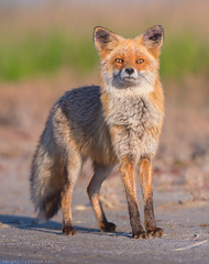 Red fox (Sergey Ryzhkov) Tags: redfox fox vulpesvulpes wildlife mammal animal wild nature ukraine europe kinburn fur canidae canid