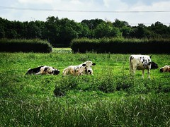 Cows resting in the fields (janettehall532) Tags: cows farmanimals animalkingdom fields prestonlancashire uk northwestengland england preston lancashire photography ruralphotography naturephotography nature photo outdoorphotography outdoors photographylovers naturelovers huaweip30pro huawei flickr flickrcentral countrysidephotography countryside countrysidelandscape landscapephotography landscape greatbritain unitedkingdom