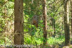 Ural owl (Eero Happonen) Tags: 2019 fujifilmxt2 fujinonxf55200mmf3548rlmois sysmä june uralowl finland päijäthämeprovince