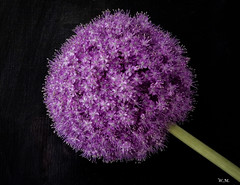 Beautiful flower Allium (Wilmeij) Tags: flower bloem nature natuur art garden allium