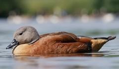 Cape shelduck (PhotoLoonie) Tags: duck goose capeshelduck southafricanshelduck waterbird bird wildlife nature attenboroughnaturereserve