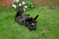 - Come here, we lie on the grass together! (Caulker) Tags: cat vaska relaxation grass roses happiness