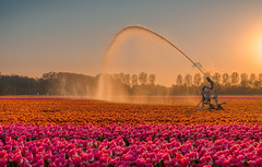 Catering the needs of thousands of thirsty terrific tulips. (Alex-de-Haas) Tags: 1635mm d500 dutch europa europe holland nederland nederlands netherlands nikkor nikkor1635mm nikon nikond500 noordholland agriculture akkerbouw beautiful beauty beregenen beregening beregeningsinstallatie bloemen bloemenvelden boerenland bollenvelden bulbfields cropsprayer farmland farming flowerfields flowers irrigatie irrigation landbouw landscape landscapephotography landschaft landschap landschapsfotografie lente lucht mooi polder pracht schoonheid skies sky spring sproeiinstallatie sundown sunset tulip tulips tulp tulpen water watercanon watering waterkanon watersproeier watersproeisysteem zonsondergang noordscharwoude northholland