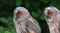 Long-eared Owl / ransuil (douwesvincent) Tags: owl chick young fledge orange wild europe netherlands outdoor garden backyard calling breeding undisterbed eyes looking green learning