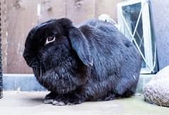 Sitting Nova (daveseargeant) Tags: bunny bun rabbit colour medway kent portrait leica x typ 113 lop
