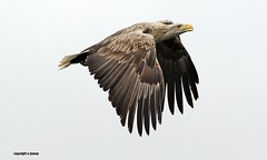 white tailed sea eagle J78A0543 (M0JRA) Tags: scotland isles mull sea water waves boats reflections land birds holidays vacations sky clouds sunset sun deer fields roads eagles