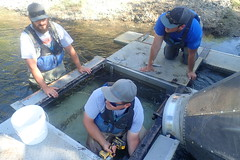 Removing live box from a smolt trap