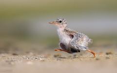 little tern bird chick in Qatar (معضاد) Tags: little tern bird chick qatar qatarbirds qatarwild