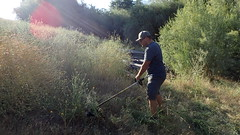 Clearing Star Thistle