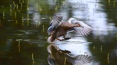 Посадка на воду (Yuriy Kuzmenok) Tags: птицы птица природа утка кряква