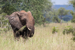 (Markus Hill) Tags: manyara tansania travel 2019 canon africa tanzania tarangire nature wild animal safari elephant elefant