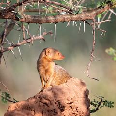 Mongoose (Markus Hill) Tags: arusha tansania africa travel wild nature animal canon tanzania safari mongoose tarangire 2019 manguste