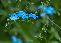 Im Stadtwald endeckt - Discovered in the city forest. (Karabelso) Tags: flower blossom blue yellow macro forest blume blüte blau gelb makro wald panasonic lumix g81