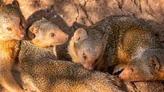 (Markus Hill) Tags: arusha africa travel wild nature animal canon tanzania safari mongoose tarangire tansania 2019 manguste