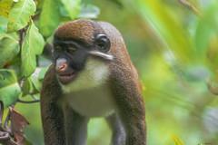 THE BIG BOSS : CERCOPITECO NASOBIANCO   --- GREATER SPOT-NOSED MONKE (Ezio Donati is ) Tags: animali animals natura nature foresta forest alberi trees westafrica costadavorio laneroriver
