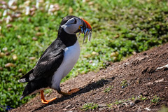 Puffin. (spw6156 - Over 8,403,100 Views) Tags: puffin copyright steve waterhouse