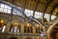 Natural History Museum (MarMont Photography) Tags: london uk nhm naturalhistorymuseum musem whale architecture nikon nikonz6 z6 nikkor20mmf28ais history nature science exibition