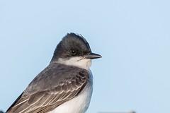Tyran Tritri / Eastrern Kingbird (ALLAN .JR) Tags: tyrantritri easternkingbird nature stationdépuration mercier wildlife bird oiseau nikon