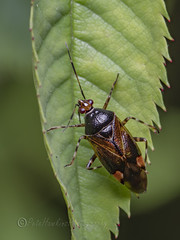 _IMG2055 Red-spotted plant bug - Deraeocoris ruber (Pete.L .Hawkins Photography) Tags: redspotted plant bug deraeocoris ruber petehawkins petelhawkinsphotography petelhawkins petehawkinsphotography 150mm irix macro pentaxpictures pentaxk1 petehawkinsphotographycom f28 11 fantasticnature fabulousnature incrediblenature naturephoto wildlifephoto wildlifephotographer naturesfinest unusualcreature naturewatcher insect invertebrate 6legs compound eyes creepy crawly uglybug bugeyes fly wings eye veins flyingbug flying shell elytra ground