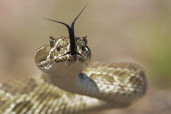 Prairie Rattlesnake (amdubois01) Tags: prairierattlesnake reptile rattlesnake prairierattler rattler crotalus crotalusviridis viridis snake viper weldcounty colorado usa unitedstates unitedstatesofamerica