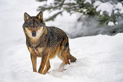 Wolf in the snow (Tambako the Jaguar) Tags: wolf canid canine dog staning posing portrait face snow winter cold tree siky park zoo crémines switzerland nikon d5