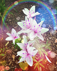 Des-Lys ... ( P-A) Tags: lys fleurs été température chaud soleil idéal nature verdure arrangements jardinage platebandes culture fleuriste délices iphone photos simpa© magicmoments