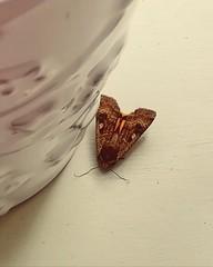 Moth (daveandlyn1) Tags: moth brown closeup macro windowsill smartphone pralx1 p8lite2017 huaweip8