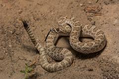 Prairie Rattlesnake (amdubois01) Tags: colorado usa unitedstates unitedstatesofamerica crotalus crotalusviridis viper viridis snake reptile oterocounty prairierattlesnake rattlesnake