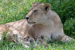 Lioness with two of her cubs. (Mark Vukovich) Tags: lioness cub mammal cat lion africa tanzania ndutu