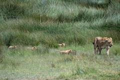 Lioness brings her cubs out of marsh. (Mark Vukovich) Tags: lioness cub mammal cat lion africa tanzania ndutu