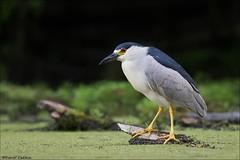 Black-crowned Night-Heron (Daniel Cadieux) Tags: heron blackcrownednightheron wader swamp marsh pond lake wetlands ottawa
