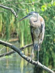 great blue over pond (Cheryl Dunlop Molin) Tags: greatblueheron heron pondlife waterbird bird southernindianawildlife birdsofindiana