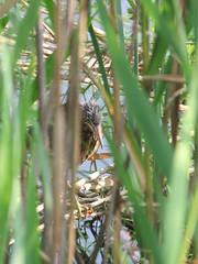 young green heron in reeds 1 (Cheryl Dunlop Molin) Tags: greenheron heron pondlife waterbird bird southernindianawildlife birdsofindiana heronfledgling fledgling birdcloseup heroncloseup babybirds butoridesvirescens