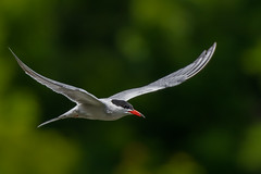 Sterne Pierregarin / Common tern (Sammyboy77) Tags: sternepierregarin commontern inflight
